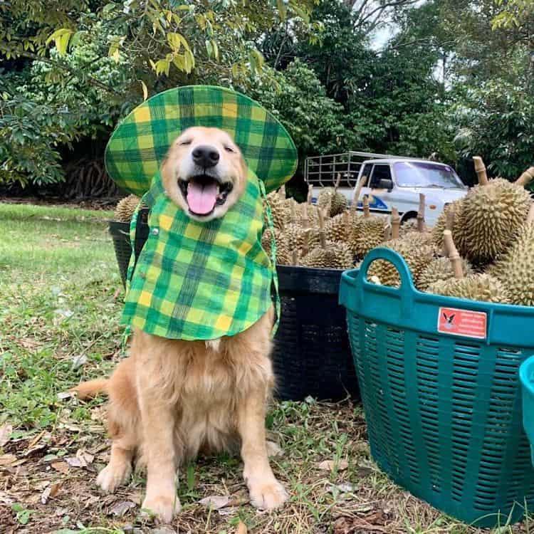 golden retriever Registran un feliz golden retriever amando su trabajo como recolector de frutas durian y las fotos son encantadoras 1