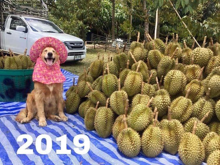 golden retriever Registran un feliz golden retriever amando su trabajo como recolector de frutas durian y las fotos son encantadoras 8