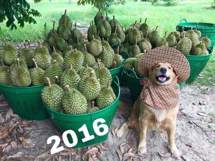 [Galería] Registran un feliz golden retriever amando su trabajo como recolector de frutas durian y las fotos son encantadoras