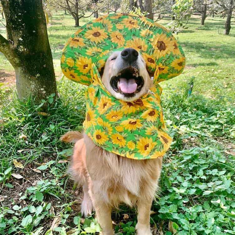 golden retriever Registran un feliz golden retriever amando su trabajo como recolector de frutas durian y las fotos son encantadoras 2