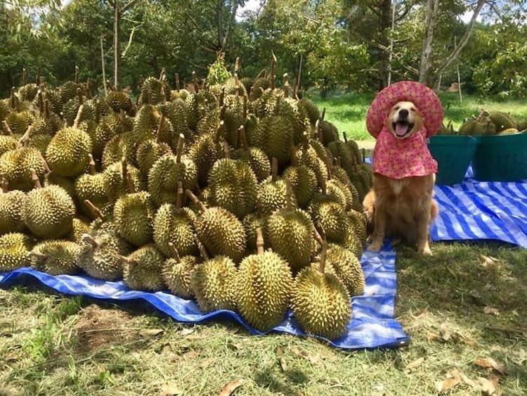 golden retriever Registran un feliz golden retriever amando su trabajo como recolector de frutas durian y las fotos son encantadoras 3