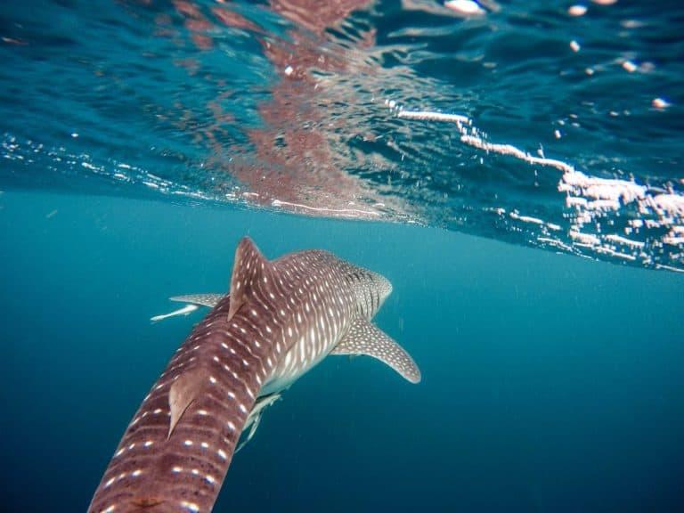 Los tiburones ballena podrían salvarse de la extinción con la ayuda de la tecnología de la NASA