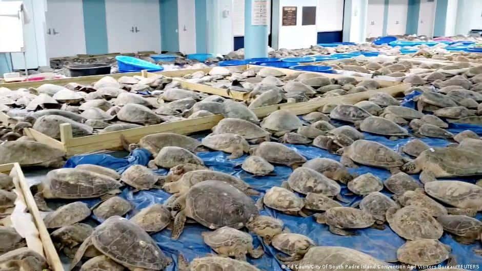 Miles de tortugas marinas fueron rescatadas en Texas debido a la fuerte ola de frío