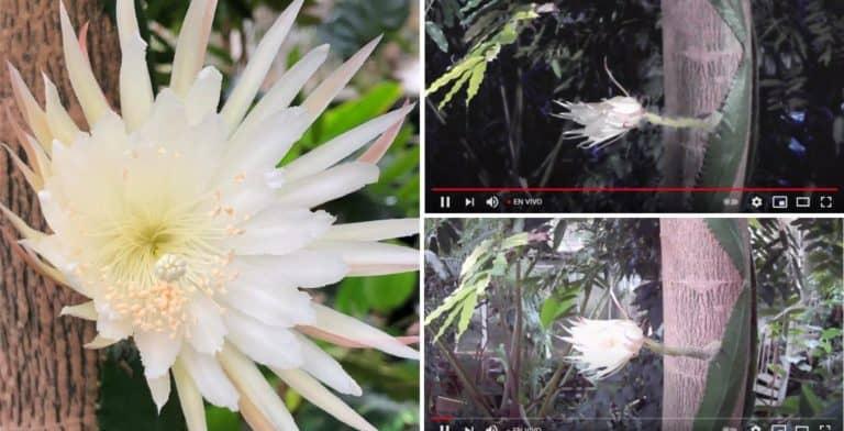 [VIDEO] Una 'flor de luna' floreció por primera vez en Inglaterra y el evento fue seguido por personas alrededor del mundo por Youtube