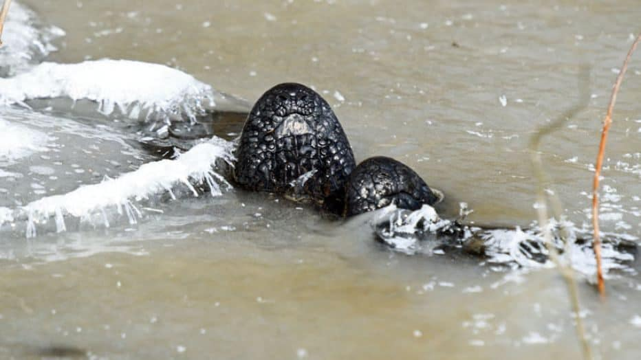 David Arbour/ Oklahoma Department Of Wildlife