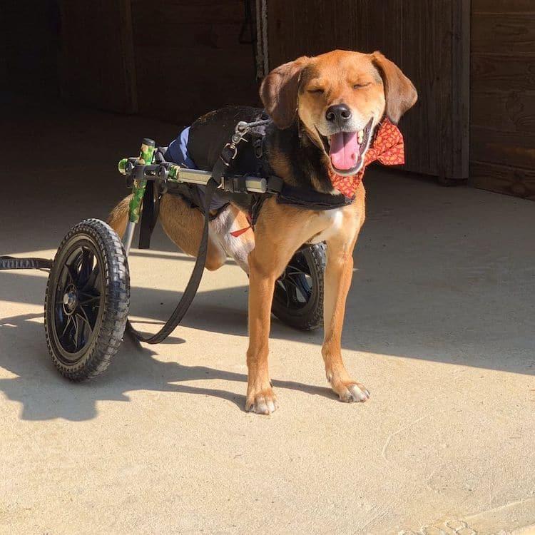 Imagen Beagle Beagle 5