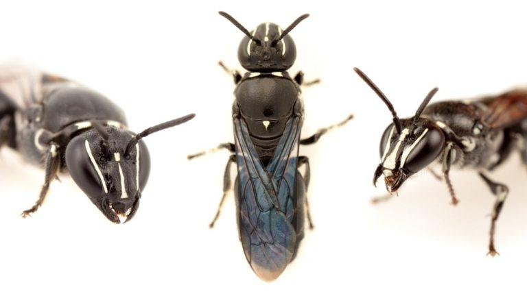 Pharohylaeus lactiferus