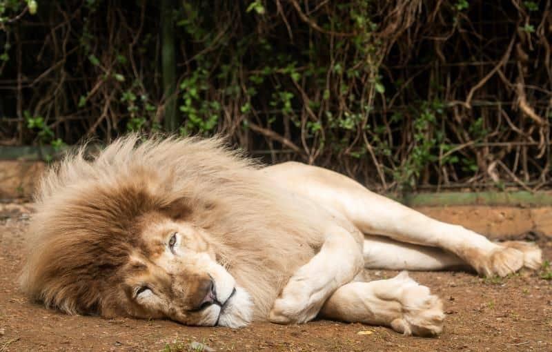 En España nació el primer león blanco sin enfermedades y ya fue presentado oficialmente