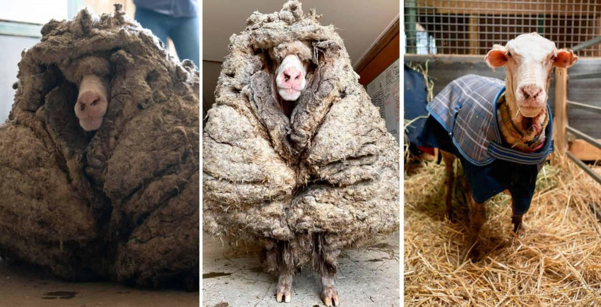 En Australia lograron rescatar una oveja con 35 kilogramos de lana extra