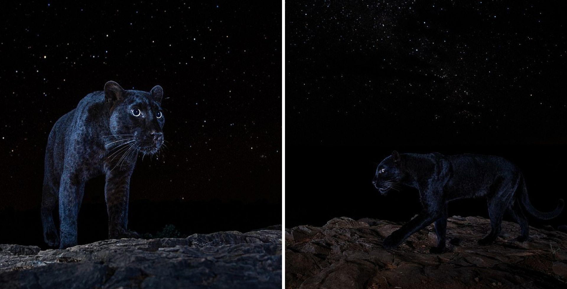 Un fotógrafo compartió imágenes nunca antes vistas de una pantera negra