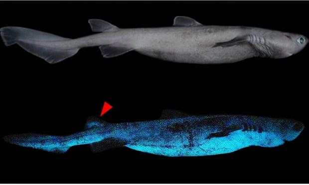 tiburones que brillan en la oscuridad