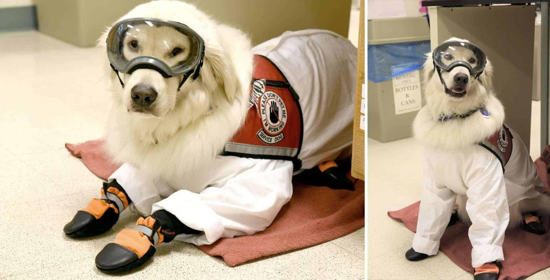 Este perro de servicio aprendió a usar el equipo de protección personal para poder ayudar a su dueña en el laboratorio