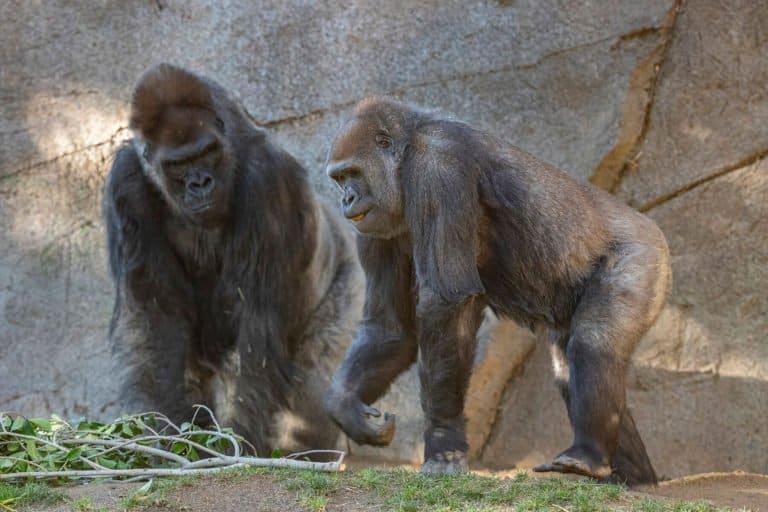 Gorilas del Zoológico de San Diego fueron los primeros en recibir la vacuna experimental para animales contra COVID-19