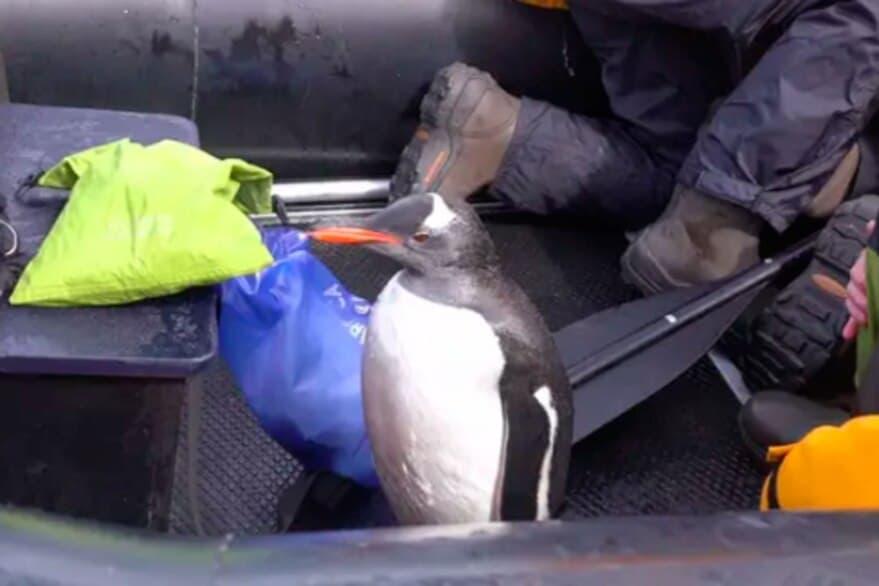 Increíble Rescate De Un Pingüino Que Era Perseguido Por Una Orca Asesina En La Antártida