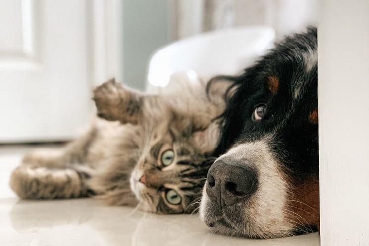 Imagen Perros Y Gatos Mapa Perros Y Gatos Duelo 2