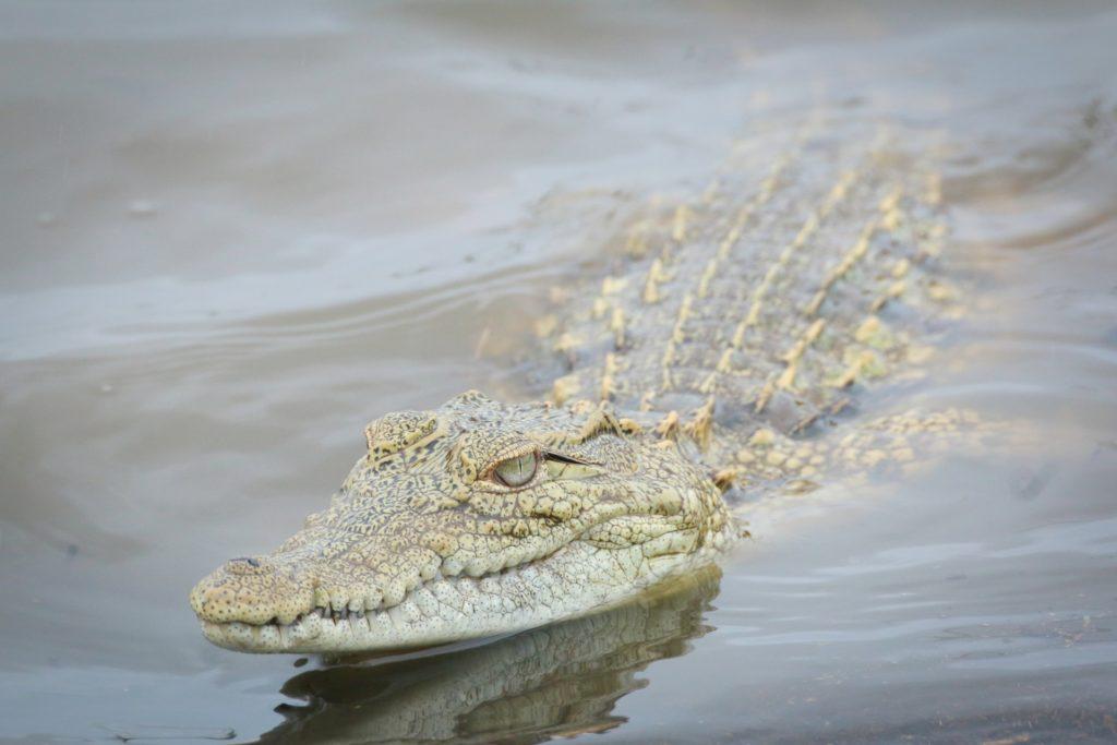 Alrededor de 150 cocodrilos escaparon de un criadero en Sudáfrica y muchos de ellos aún continúan sueltos