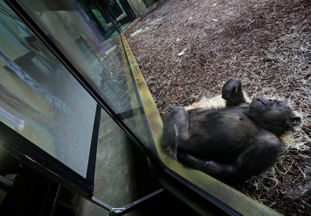 Los chimpancés de un parque safari de República Checa tienen videollamadas con chimpancés de otros zoológicos