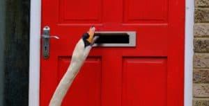 Un barrio de Inglaterra suele ser visitado por un cisne que con mucha insistencia golpea todas sus puertas