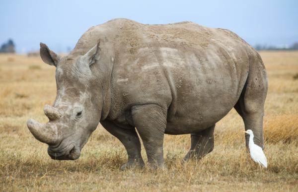 El Banco Mundial comenzará a vender el primer bono de conservación del mundo: será destinado para hacer crecer la población de rinocerontes en peligro de extinción de Sudáfrica