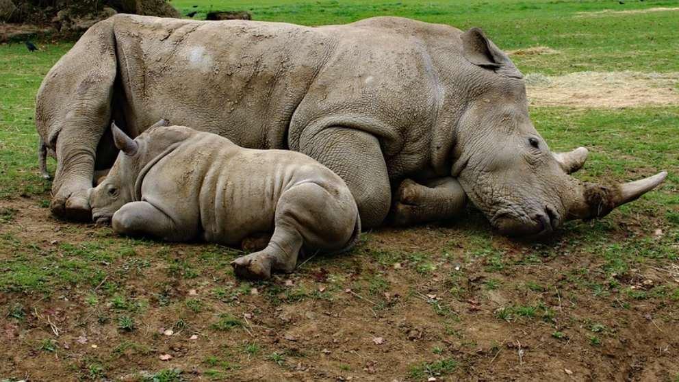 rinocerontes-en-peligro-de-extinción-de-Sudáfrica-2