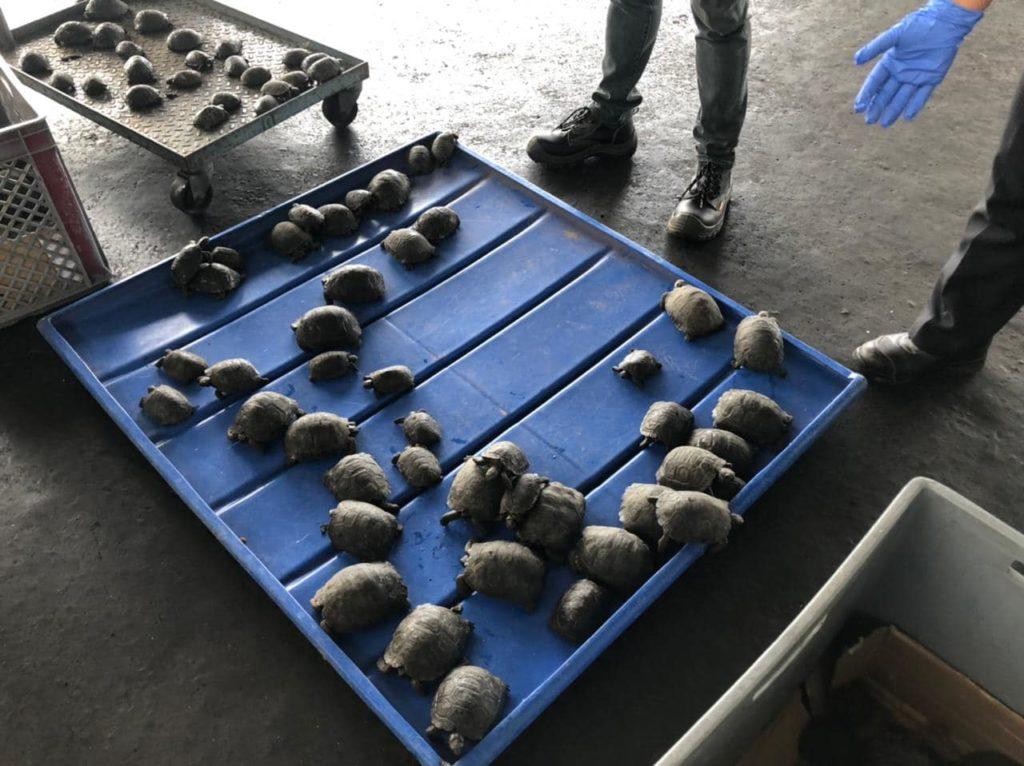 Encontraron 185 bebés de tortugas gigantes dentro de maletas en el aeropuerto de Galápagos