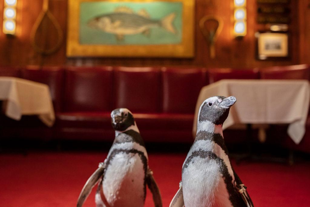 3 Pingüinos De Un Acuario De Chicago Visitaron Un Restaurante De La Ciudad Para Generar Conciencia Sobre El Uso De Plásticos
