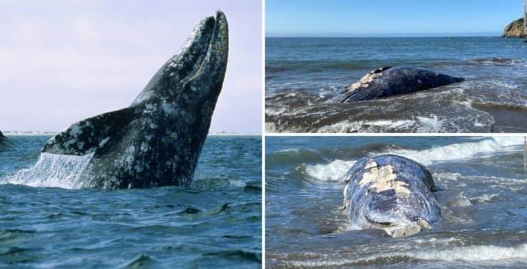 En tan solo 8 días aparecieron cuatro ballenas grises muertas en una bahía de California, Estados Unidos