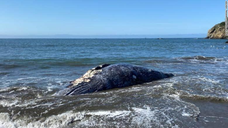 En tan solo 8 días aparecieron cuatro ballenas grises muertas en la bahía de California