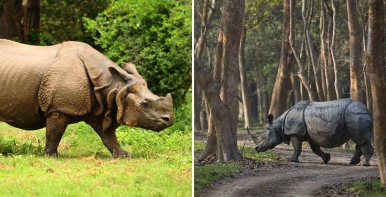 Un nuevo censo registra un aumento en la población de rinocerontes de Nepal desde 2015