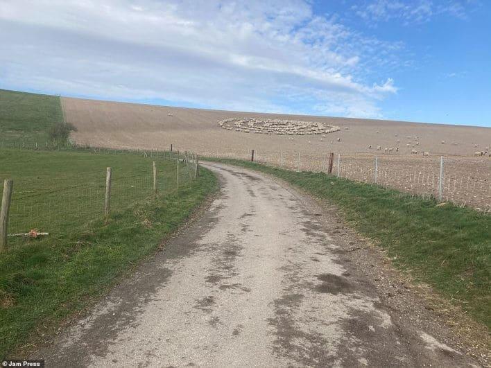 ovejas forman un misterioso círculo