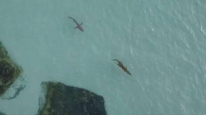 tiburón persigue a un cocodrilo