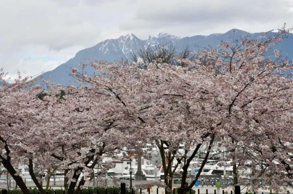 Ver Los Cerezos En Flor