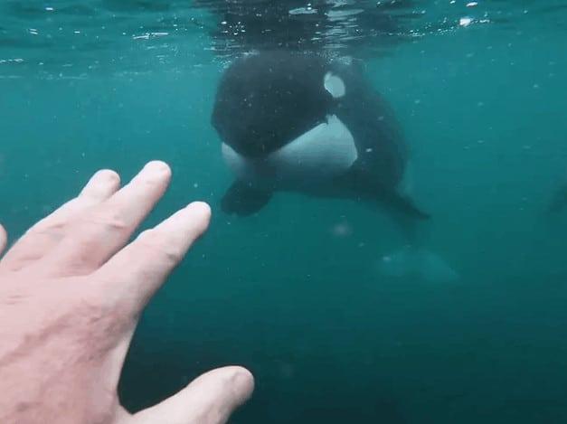 encuentro cara a cara con dos orcas