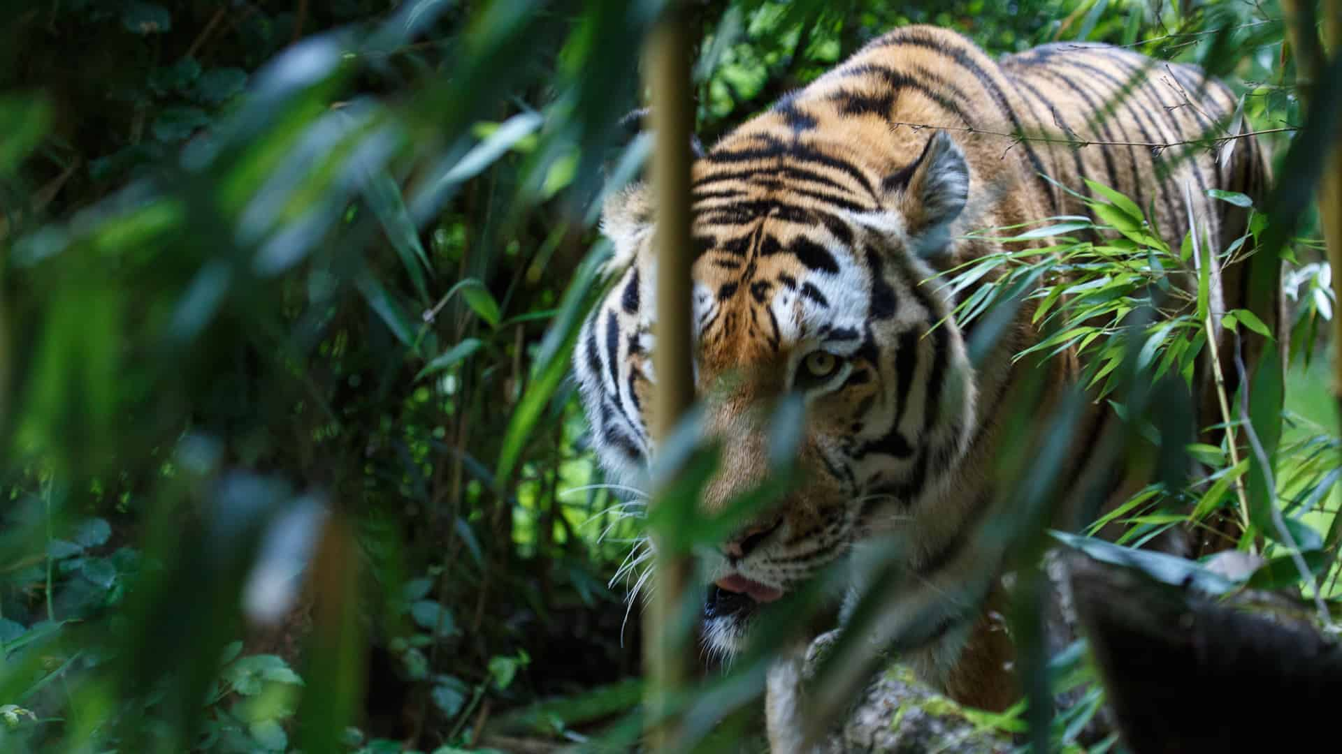 Siberian tiger or Amur tiger, Panthera tigris altaica, walking in the forest and ready for an ambush.