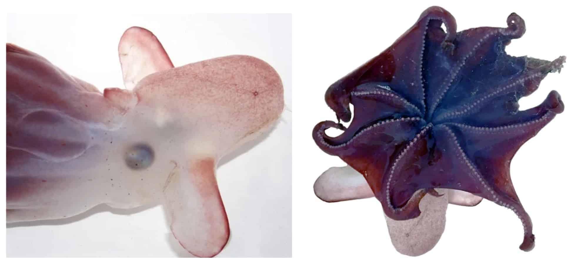 Un grupo de científicos encontró un nueva especie de pulpo Dumbo a unos 7.000 metros de profundidad