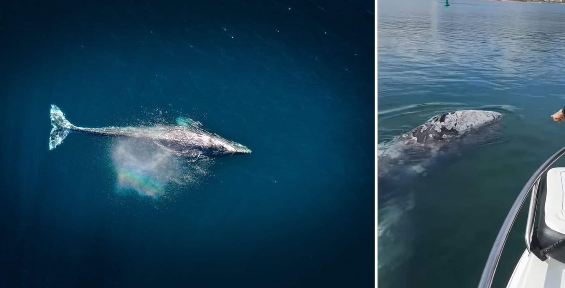 Una ballena gris que se encontraba perdida fue vista por primera vez desde las cosas francesas del Mediterráneo