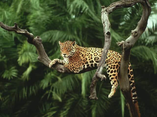 México abrirá un Santuario del Jaguar en octubre del 2021 para impulsar la conservación del felino más grande de Latinoamérica