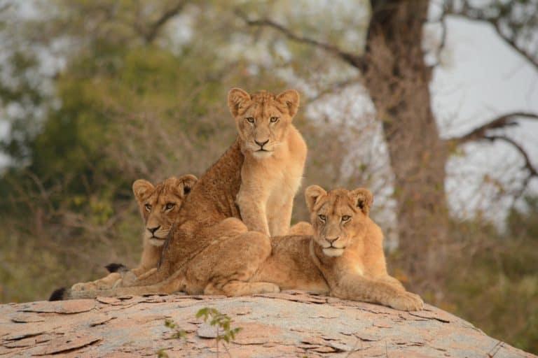 Sudáfrica planea prohibir la reproducción y cría de leones para la caza