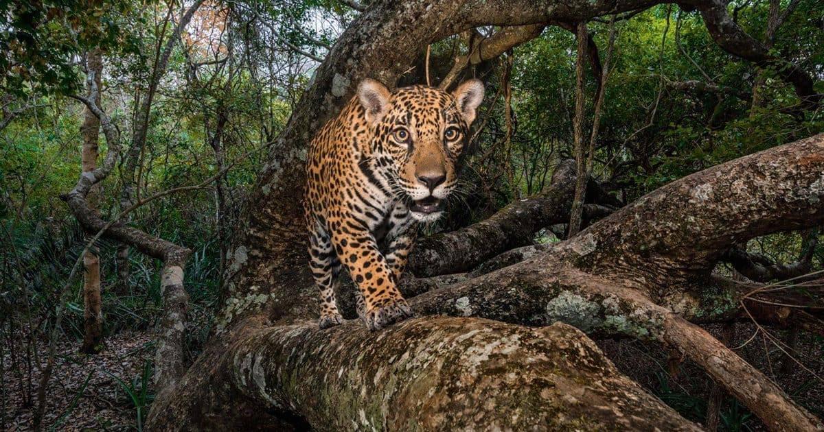 santuario-del-jaguar-méxico-reino-animal