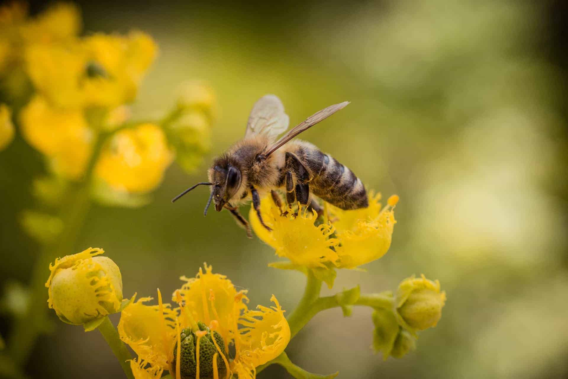 Un grupo de científicos de Países Bajos entrenaron abejas para que puedan detectar COVID-19 en cuestión de segundos