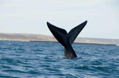 cuando-ver-ballenas-en-Puerto-Madryn
