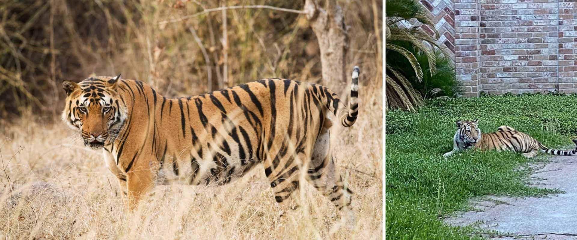 La dueña de un santuario animal ofrece 5.000 dólares de recompensa para quienes encuentren a un tigre de Bengala que anda suelto en Texas