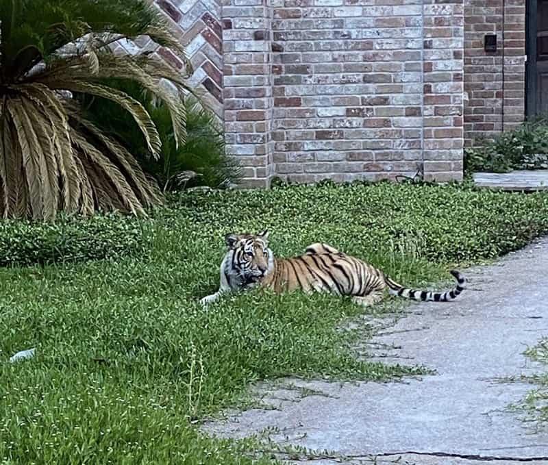 Tigre De Bengala En El Césped De Un Vecindario De Houston, Texas