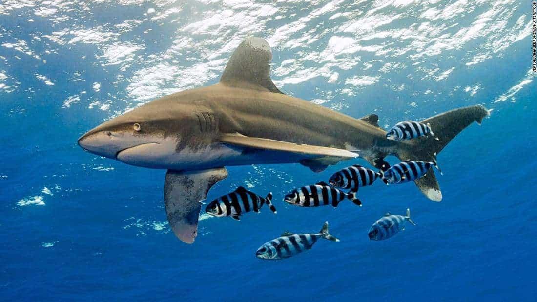poblaciones-mundiales-de-tiburones-y-rayas-de-mar-abierto