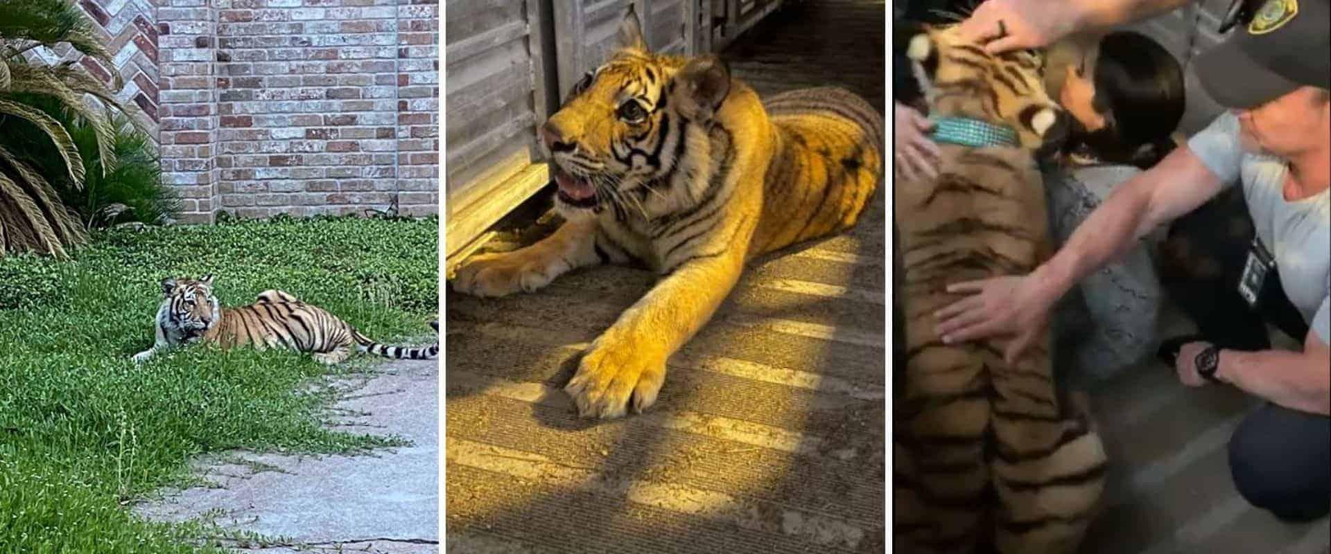 Finalmente apareció el tigre que andaba suelto por el vecindario de Houston, Texas