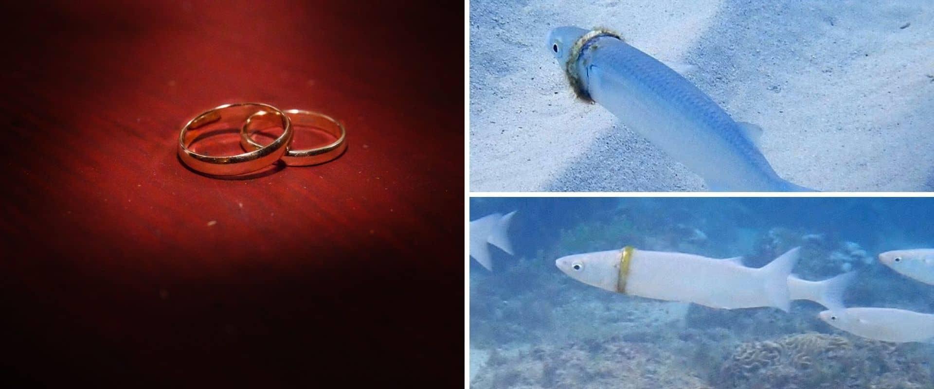 Una buceadora encontró la alianza que un hombre había perdido hace varios meses en una isla de Australia, la llevaba un pez