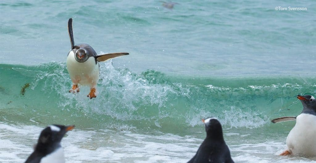 Pingüinos, imagen seleccionada de la convocatoria para los premios de fotografía Comedy Wildlife Photography Awards 2021