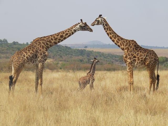 Familia De Jirafas En Kenia - Allí Se Realizará Su Primer Censo De Animales Silvestres