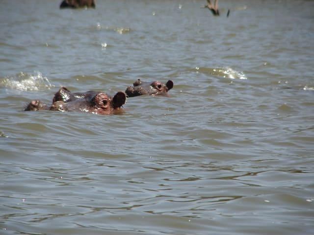 Dos Hipopótamos En Un Lago De Kenia