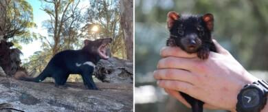Nacieron demonios de Tasmania en Australia continental por primera vez en 3.000 años